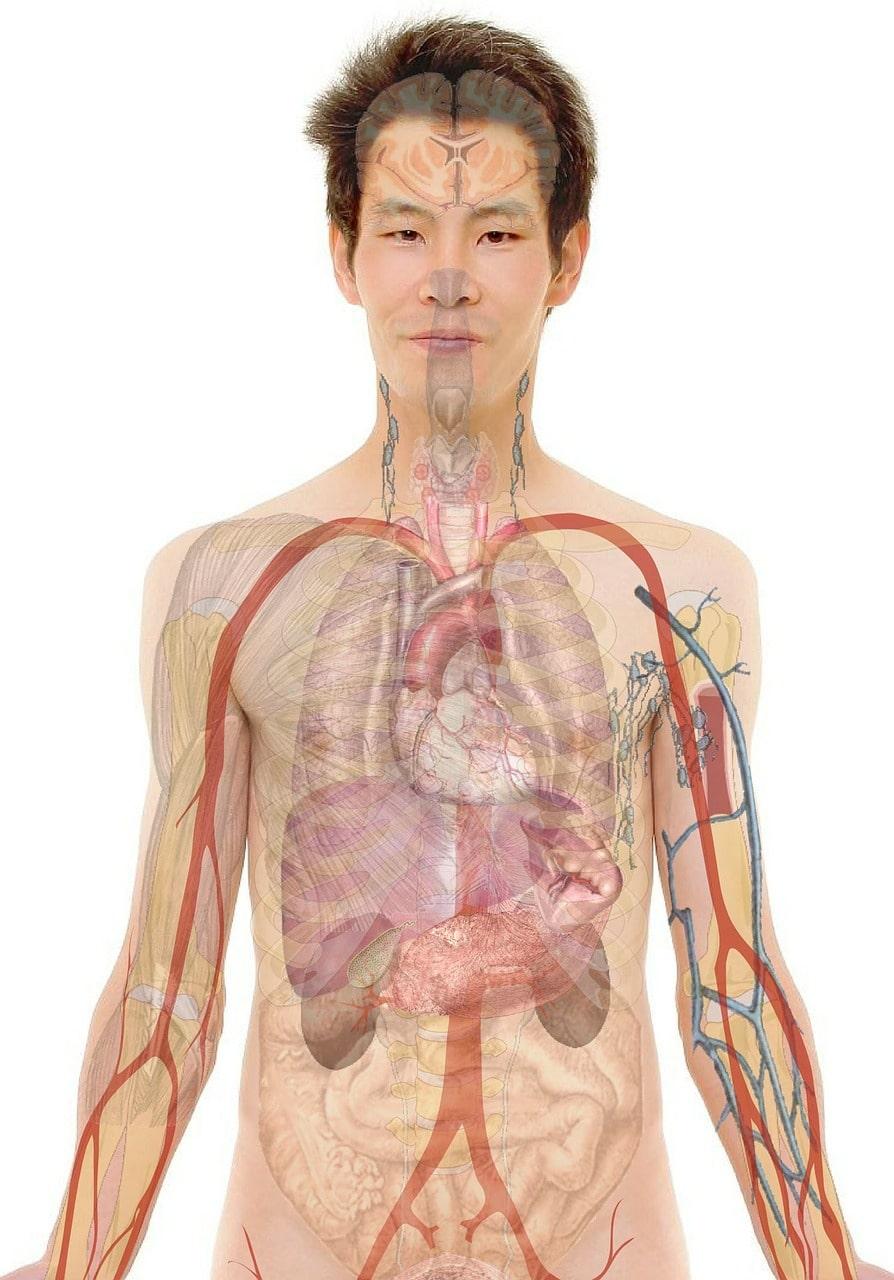 système circulatoire transportant la nicotine créant une dépendance au tabac